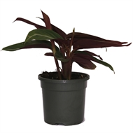 Easy Care Range 130mm Stromanthe - Stromanthe sanguinea