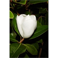 180mm Magnolia Little Gem - Magnolia grandiflora