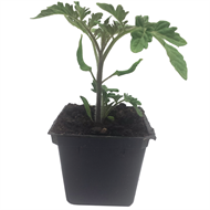 80mm Assorted Budget Tomato - Solanum lycopersicum