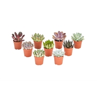 65mm Assorted Succulent Plants