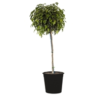 300mm Midnight Beauty Bushy - Ficus benjamina