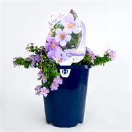 150mm Bacopa Blue Garden Jewels