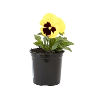 100mm Potted Colour - Assorted Varieties
