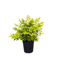 140mm Nandina Lemon Lime - Nandina domestica alba LemLim