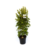 Slim Trim 250mm Premium Assorted Shrubs