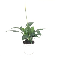 130mm Peace Lily - Spathiphyllum chico
