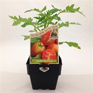 100mm Tomatoes Assorted Heirloom Selection