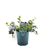 140mm Assorted Shade Plants