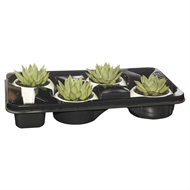 130mm Single Succulent In White Round Pot - Tray Of 4
