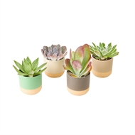 65mm Succulent With Two Tone Ceramic Pot