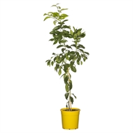 200mm Lisbon Lemon Tree - Citrus limon
