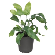 130mm Blue Star Fern - Phlebodium aureum - Easy Care Range