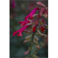 140mm Salvia Embers Wish - Salvia buchananii