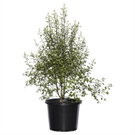 270mm Screenmaster - Pittosporum tenuifolium