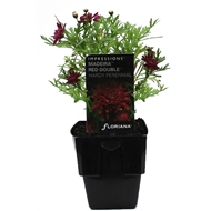 125mm Madiera Red Double - Argyranthemum hybrid