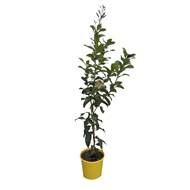 200mm Assorted Citrus Trees