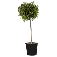 250mm Ficus Midnight Beauty STD - Ficus benjamina