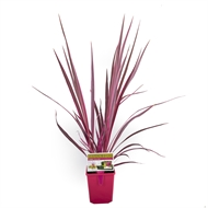 135mm Cordyline Electric Pink  - Cordyline banksii Electric Pink ™