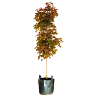 45L Maple Fairview - Acer platanoides