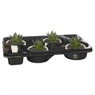 130mm Single Succulent In Cement Bowl - Tray Of 4