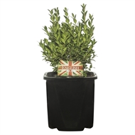 125mm English Box - Buxus sempervirens