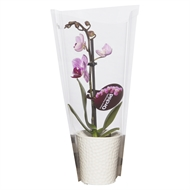 65mm Micro Single Moth Orchid in Ceramic Pot Mix Box Of 15 - Phalaeonopsis