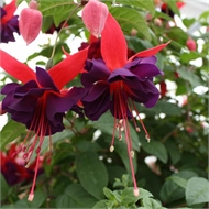 150mm Fuchsia Assorted Range - Fuchsia hybrida