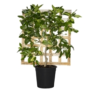 250mm Espaliered Dwarf Lime Tahitian - Citrus latifolia