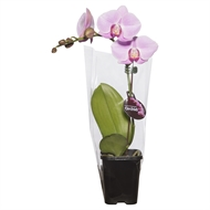 85mm Mini Pink Single Moth Orchid - Phalaeonopsis - Box Of 12
