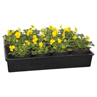 125mm Potted Colour Viola Yellow - Tray Of 12