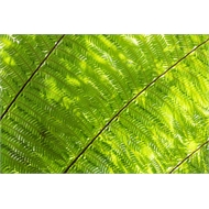 45L Coin Spotted Tree Fern