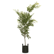 150L Japanese Elm Mushashino - Zelkova mushashino