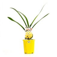 1.1L House Party Yellow Clivia - Clivia miniata