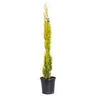 200mm Conifer Swanes Gold Pencil Pine - Cupressus sempervirens