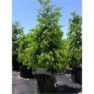 45L Weeping Lilly Pilly - Waterhousea floribunda