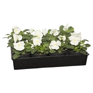 125mm Potted Colour Pansy White - Tray Of 12