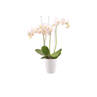 Elho 12.5cm White Brussels Orchid High Pot