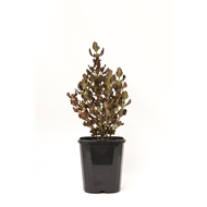 140mm Pacific Sunset - Coprosma repens