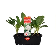 Grow Your Own Vegetable Seedling Punnet Range