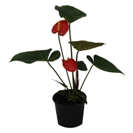 140mm Assorted Flowering Indoor Plant In Ceramic Pot