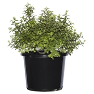 270mm Pittosporum Golf Ball - Pittosporum tenuifolium