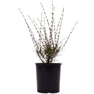 113mm Assorted Landscape Shrubs