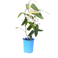 140mm Free N Easy - Hardenbergia violacea Alba - Grow It Easy Range