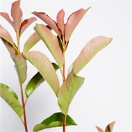 270mm Photinia Robusta - Photinia x fraseri