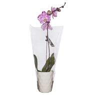 120mm Large Single Pink Moth Orchid in Ceramic Pot Box Of 11 - Phalaeonopsis