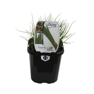 95mm Chives - Allium schoenoprasum - For Life Range