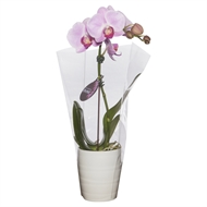 90mm Mini Single Moth Orchid in Ceramic Pot Mix Box Of 12 - Phalaeonopsis