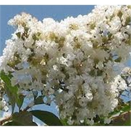 500mm White Flowering Crepe Myrtle - Lagerstroemia Natchez