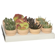 65mm Succulent In Light Terracotta Pot - Tray Of 12
