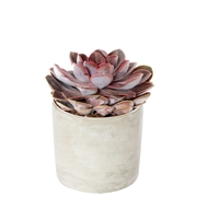 120mm Succulent With Cement Cylinder Pot